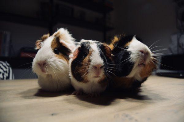 Trois petits cochons d'Inde