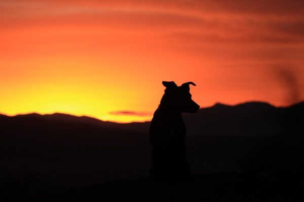 silhouette de chien sur fond de couché de soleil