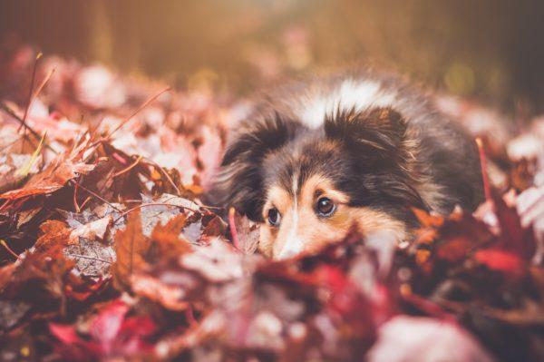 Chien couché dans des feuilles mortes